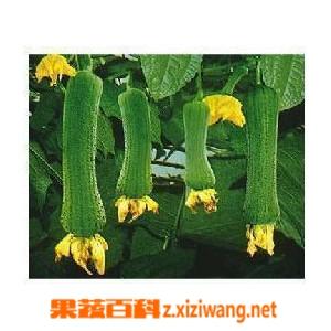 果蔬百科丝瓜